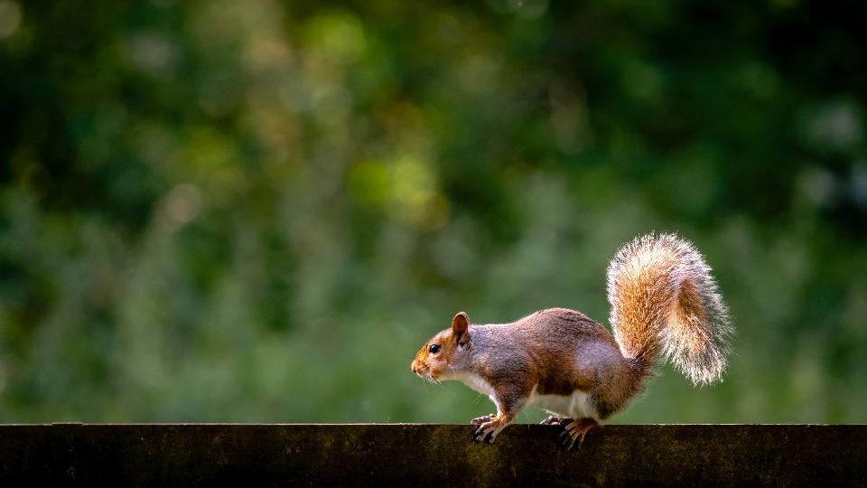 squirrel animal nature close rodent face fur garden outdoors day green eyes nose ears leaves tail fence wildlife backyard copy space 复制空间 后院 野生动物 篱笆 尾 叶 耳 鼻子 眼睛 绿色 天 户外 花园 毛皮 脸 啮齿动物 关 自然 动物 松鼠