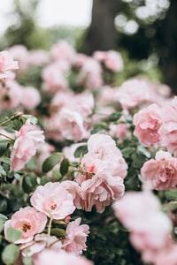 pink flowers in tilt shift lens 斜移镜头中的粉红色花