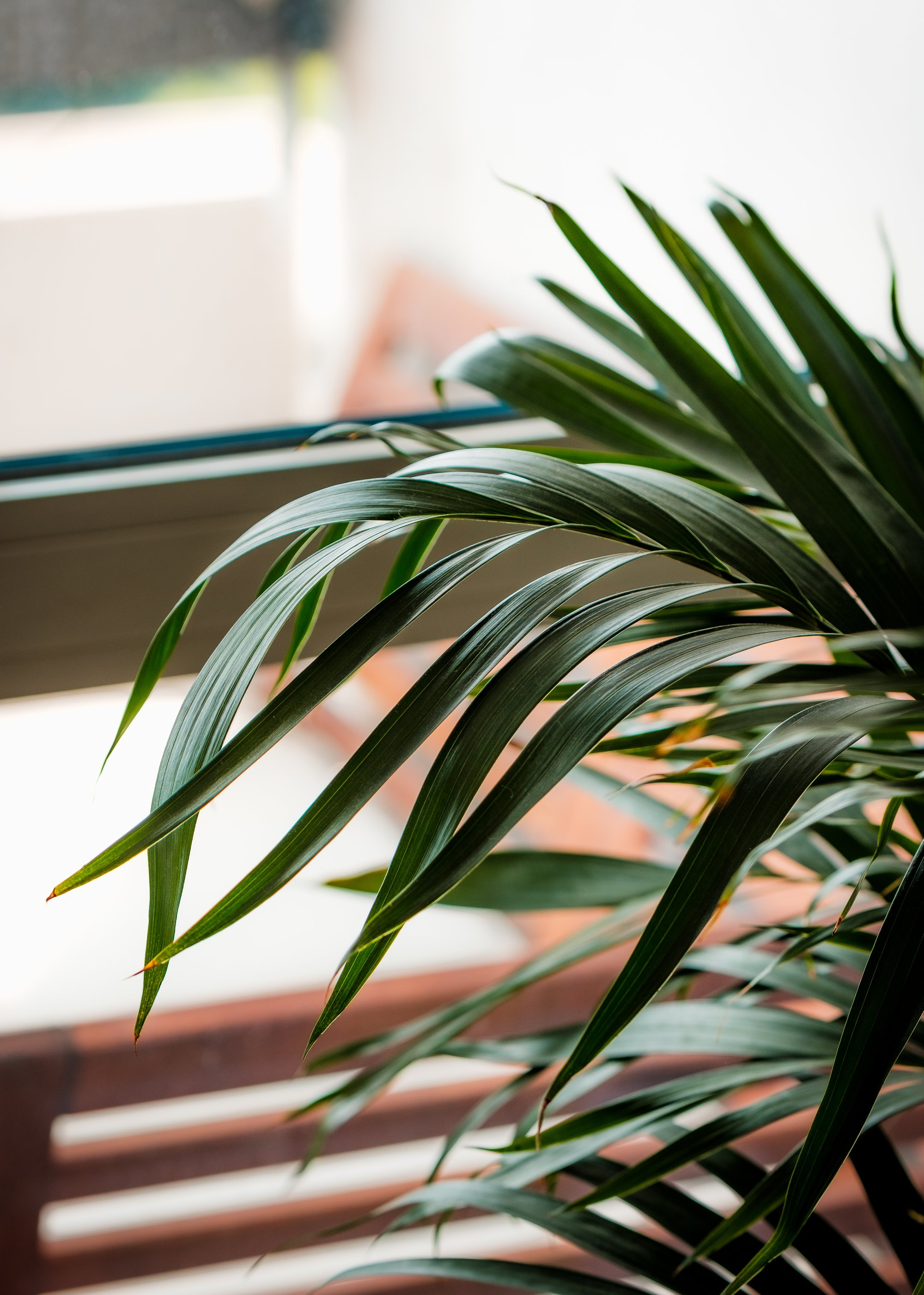 a house plant and their dark green leaves soaking in the light 一种室内植物和深绿色的叶子在光线中浸泡。