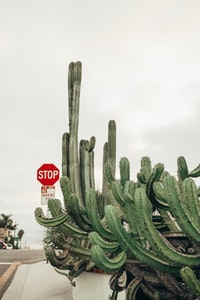 green cactus plant near red stop sign 绿色仙人掌植物近红色停车标志